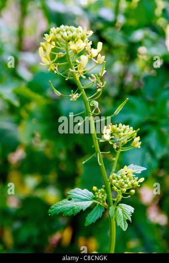 Mustard Plant Stock Photos & Mustard Plant Stock Images - Alamy