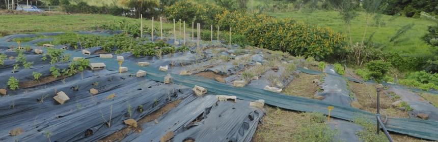 Martinique fiches techniques pour la culture des plantes for Chambre d agriculture martinique