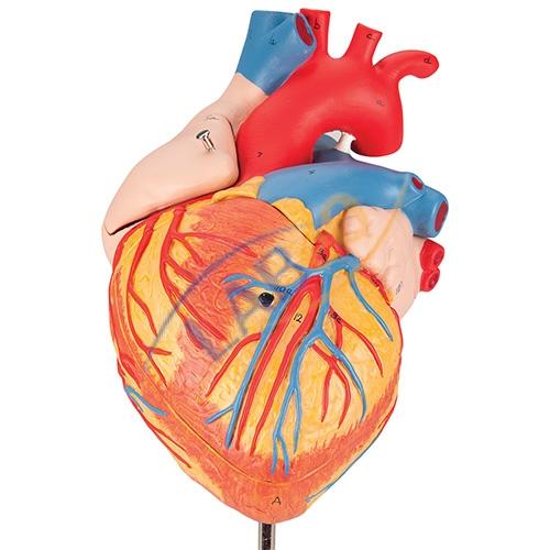 Human heart 4 parts anatomy model manufacturer in ambala haryanabio human heart 4 parts anatomy model manufacturer in ambala haryana ccuart Images