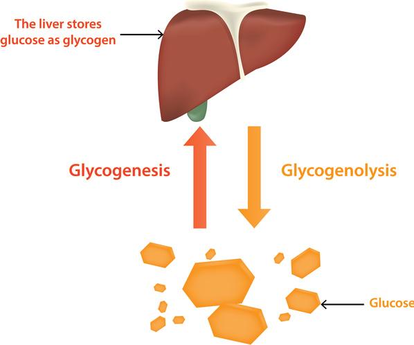 Glycogenesis - Cycle, Steps, Significance (Vs Gluconeogenesis