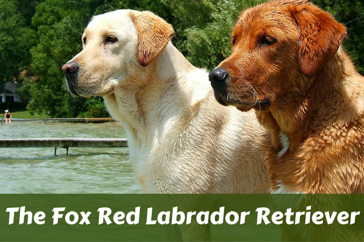 Yellow Lab Dogs For Sale Red Lab Facts 101 Surprising Truths About The Fox Red Labrador