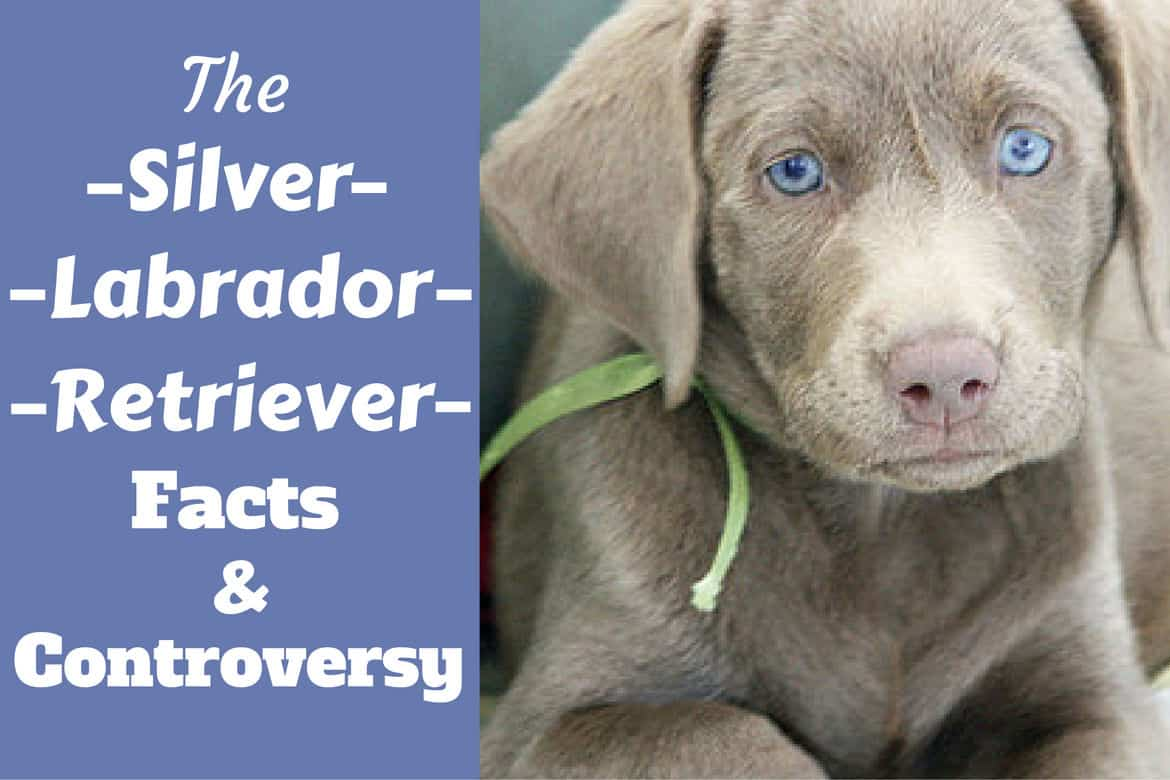 Yellow Lab Dogs For Sale Silver Labrador Retriever Facts About Silver Labs You Need To