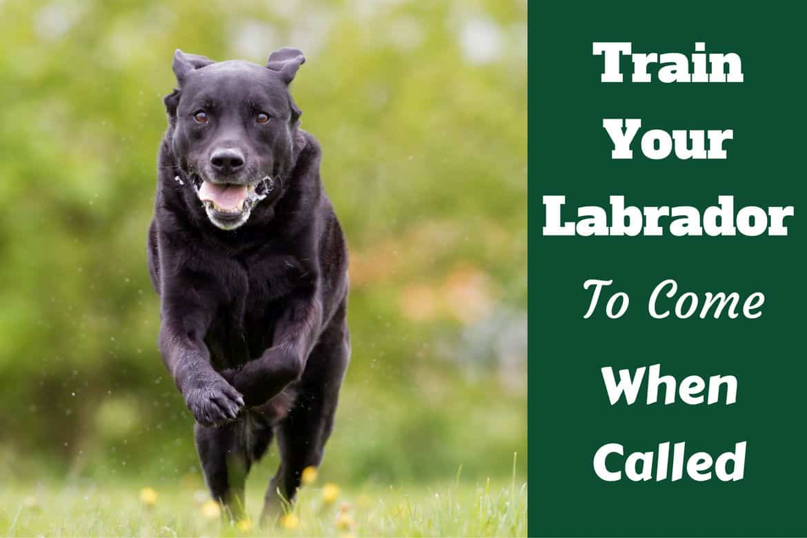 Black Lab Dog Running Recall How To Train Your Labrador To Come Back When Called