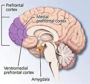 cerebro-brain-prefrontal-medial-ventromedial-amigdala