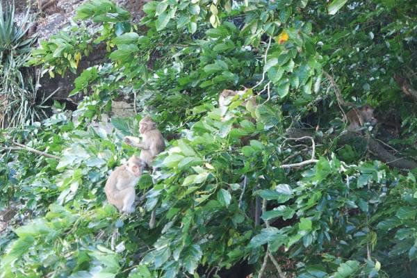 Monos de isla Mauricio