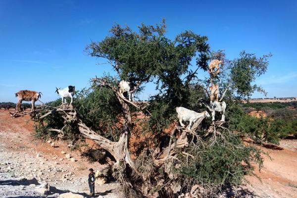 cabras-en-el-arbol-del-argan-de-marrakech-a-essaouira