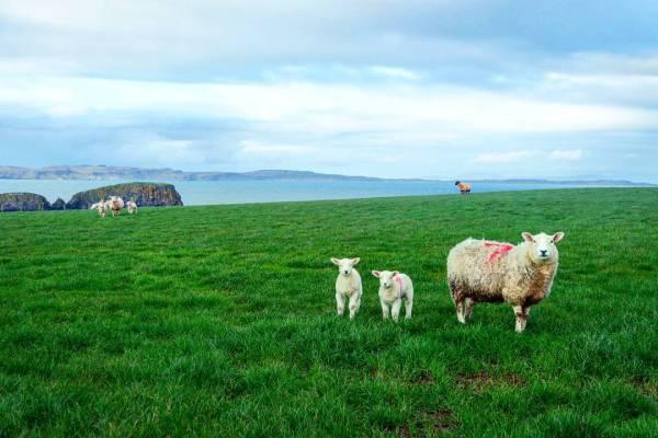 Ovejas, Irlanda del norte