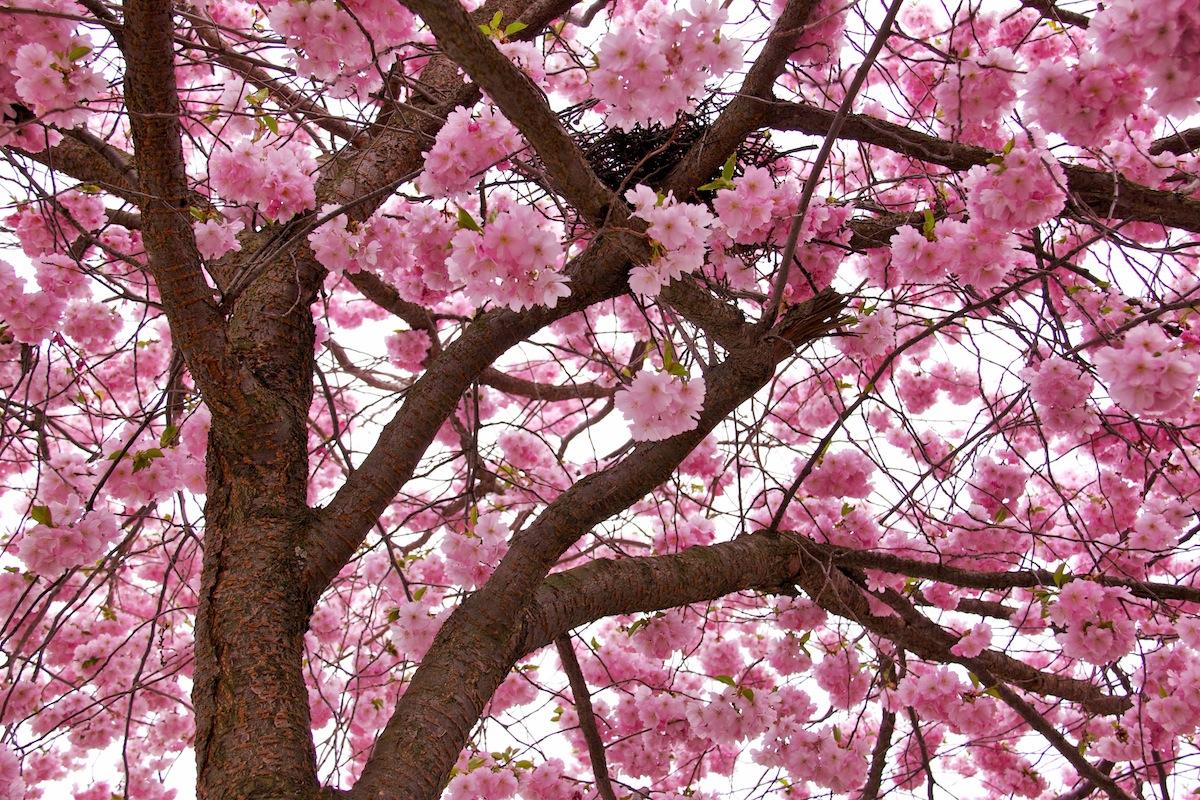 Falling Rose Petals Live Wallpaper Nest Of Blossoms Lady Fi