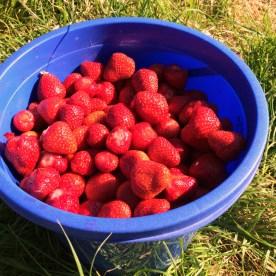 Perfekte Zeit zum Pflücken: Die Erdbeeren sind jetzt, Anfang Juni, groß, rot und süß.