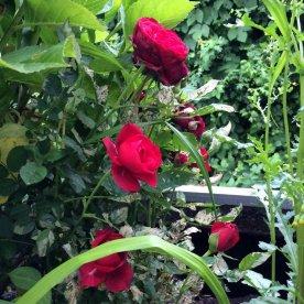 Rosen im Ländchenlust-Garten
