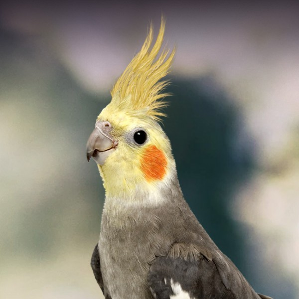 Cute Parakeet Wallpaper Cockatiel Personality Food Amp Care Pet Birds By Lafeber Co