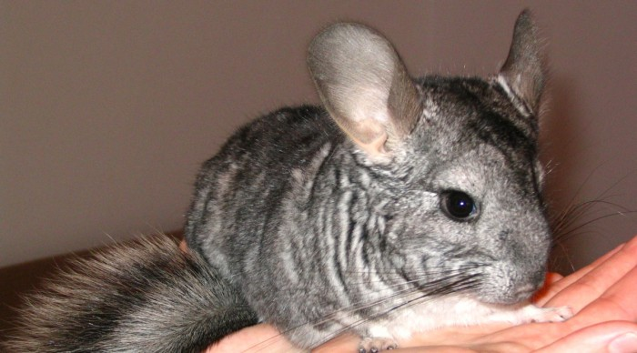 Basic Information Sheet Chinchilla LafeberVet