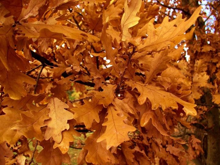 Live Wallpaper Fall Leaves Garden Myth Oak Leaf Toxicity Laidback Gardener