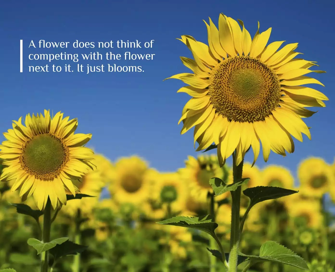 Sunflower Wallpaper Desktop Quote Inspirational Quote It Just Blooms Lakehouse Recovery