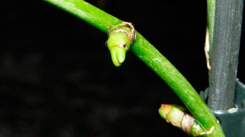 отводки у симподиальных орхидей