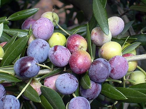 olives2cas
