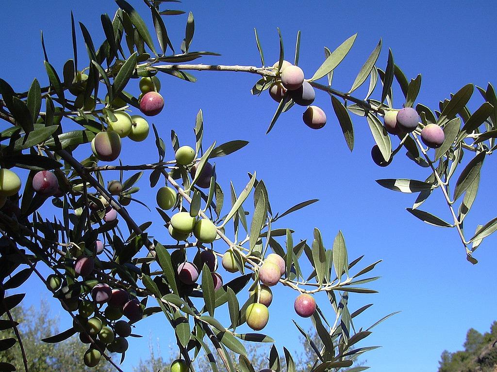 olivesa