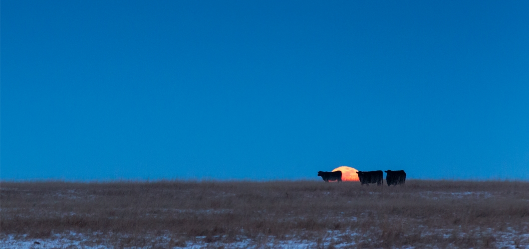 Moonrise with cows