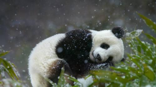 Cute Word Wallpaper Foto Gambar Panda Lucu 15 Lampu Kecil
