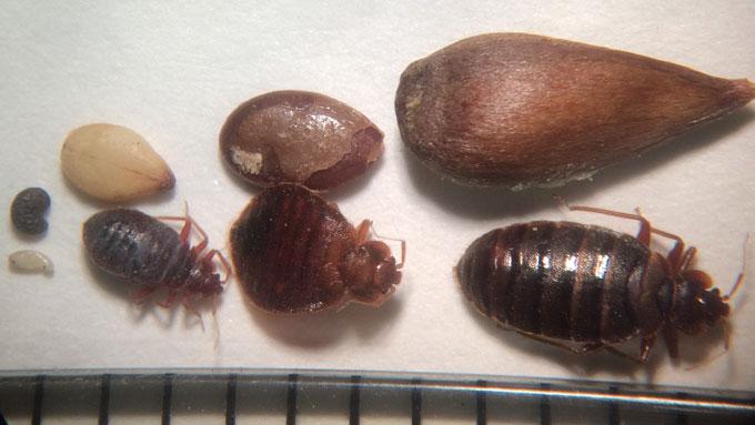 Bed Bug Management Nebraska Extension in Lancaster County