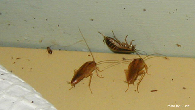Cockroaches Unwanted home invaders Nebraska Extension in