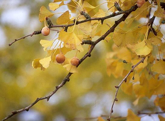 Central Park Fall Wallpaper Ginkgo Biloba Landscape Plants Oregon State University
