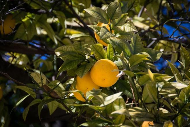 Overalt er der appelsintræer. De fleste blomstrer nu, men enkelte har allerede modne frugter