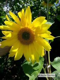 floarea_soarelui_ (3)