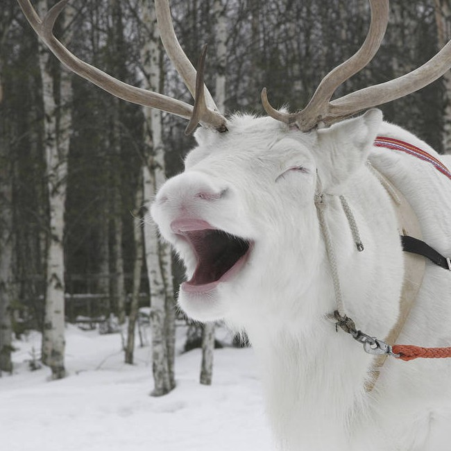 Deer Lapland