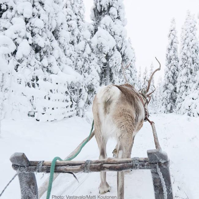 Deer Sleigh Lapland