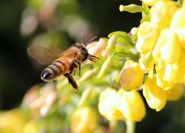 abeja-honey-bee