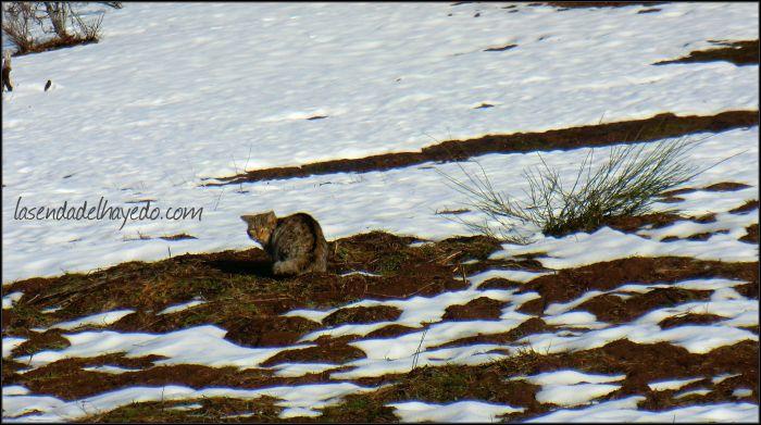 Gato Montés cazando en Riosol