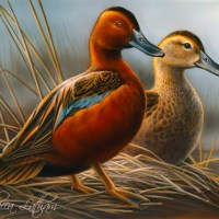 Flying South - Cinnamon Teal Arrive in Texas
