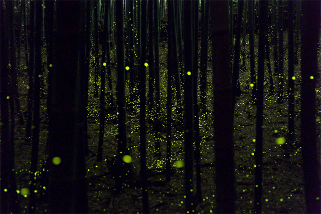 Long exposure photos of fireflies by Yume Cyan