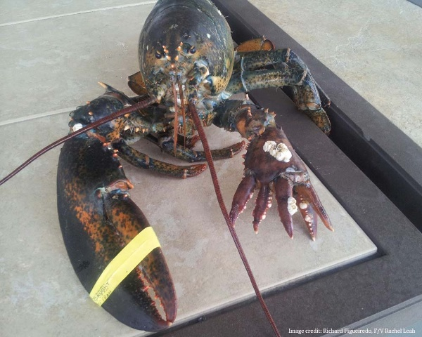 6 clawed lobster
