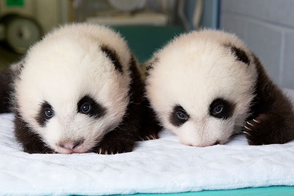 Newborn Babies Tumblr Time Lapse Video Of Baby Giant Panda Twins' First 100 Days