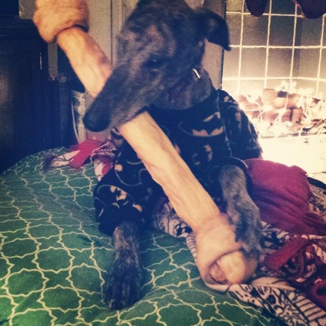 Mosley the Greyhound