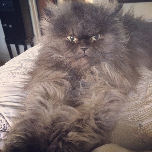 Colonel Meow Bed Head