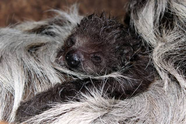 Baby 2-Toed Sloth Holding Tight