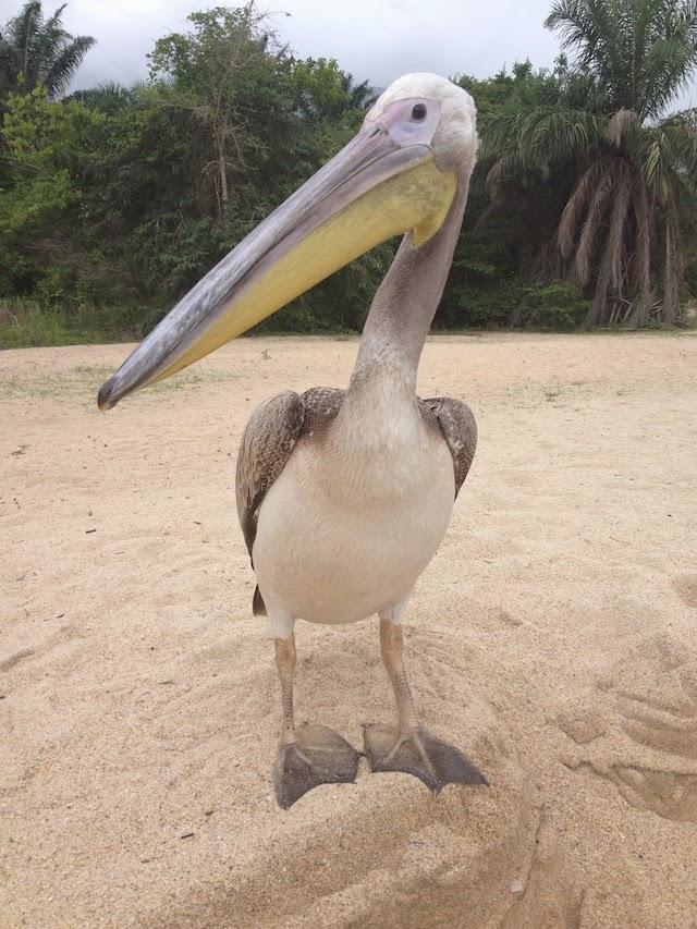 Big Bird the Pelican