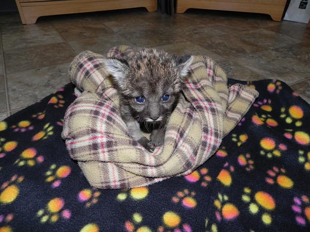 Florida Panther Kitten On Blanky