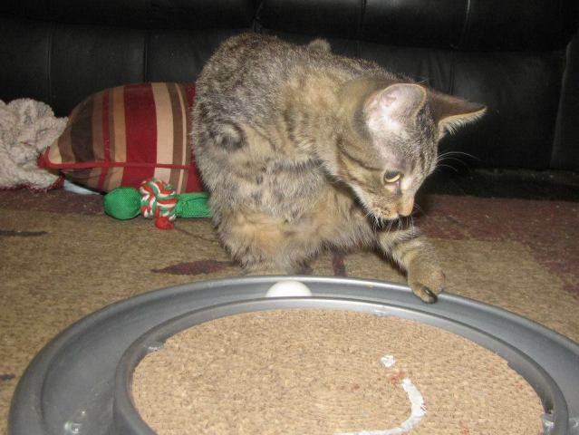 Mercury the Cat Playing