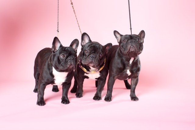 Westminster French Bulldogs - Yves San Laurent