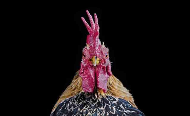 Photos of Ornamental Cocks