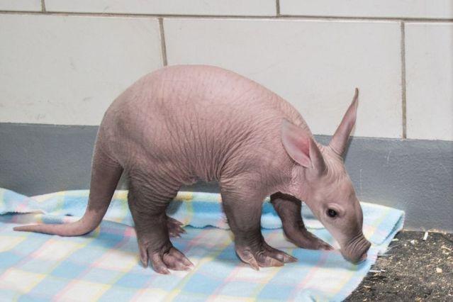 Baby Aardvark on Blanket