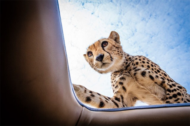Cheetah On Top of Vehicle