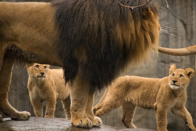 Father Lion with Cubs