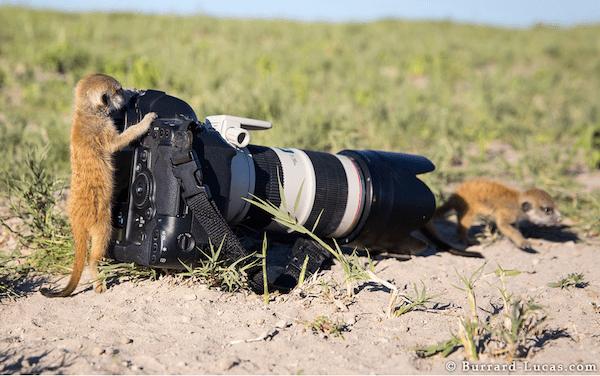 Baby Meerkats At The Camera