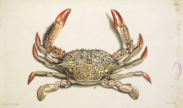 American Museum of Natural History Crab