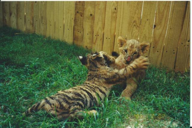 Tiger and Lion Cub